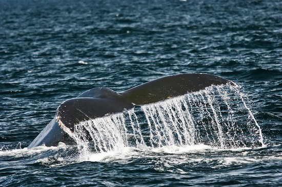 21568_cape_cod_whale_watch_dolphin_fleet_of_provincetown