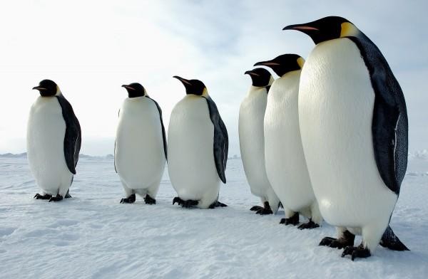 Manchots-empereur-Antarctique