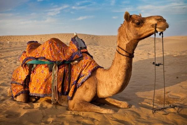 camel-safari-thar-desert