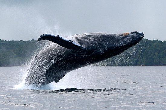 visuel2-baleine-a-bosse